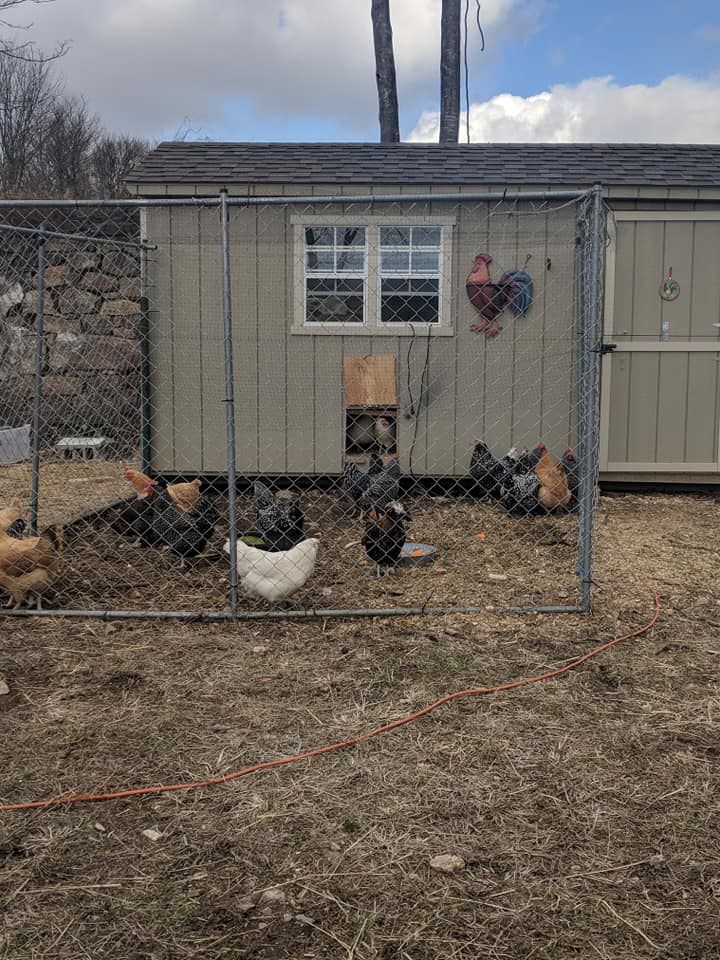 Happy Chickens