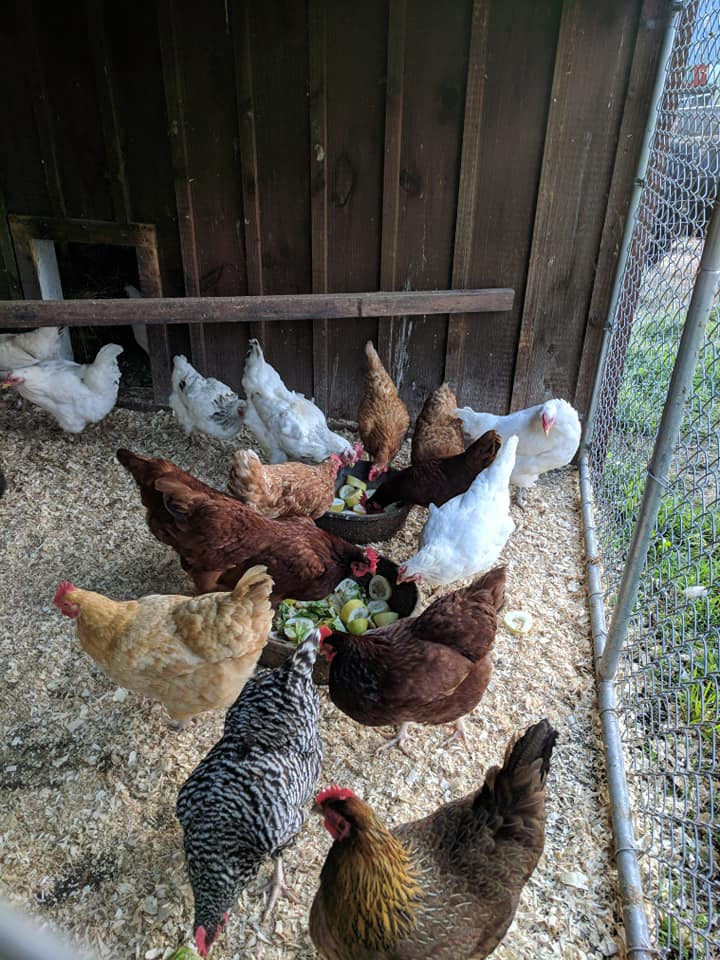Happy Healthy Chickens